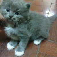 kitten-persia-istimewa-semarang