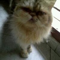 kucing-persia-peaknose