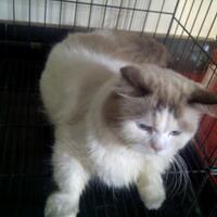 kucing-persia-jantan-9-bulan