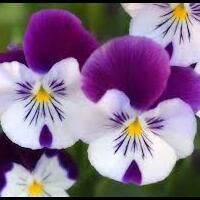 bunga-angrek-gan
