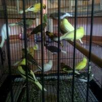 beternak-burung-kenari
