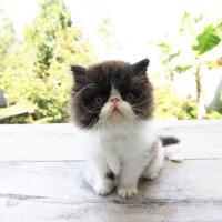 kitten-persia-peak-nose-bandung
