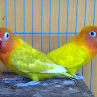 sepasang-lovebird-paskun