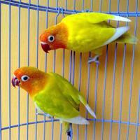 lovebird-paskun-x-pasjo