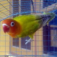 lovebird-green--blue-spangled