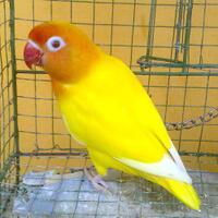 lovebird-lutino-mm-janda