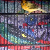 kenari-af-bon-simetri-lovebird-pasjo-betina-kacer-jabar