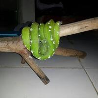 morelia-viridis---chondro---gtp-aru-type