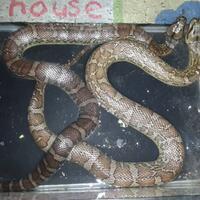 ular-kadut-granit-2-ekor