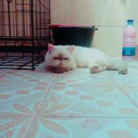 kucing-peaknose-betina