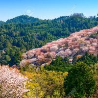 sebelum-berpisah-sama-musim-sakura-kita-sempat-ke-gunung-yoshino-lho