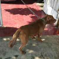 the-american-pitbull-lover039s---part-5