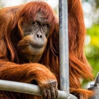 yuk-kenalan-sama-puan-orangutan-tertua-di-dunia