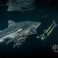 dive-with-the-whaleshark