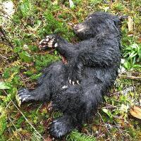 berikan-napas-buatan-pria-ini-selamatkan-bayi-beruang