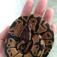ball-python-python-regius-lovers-masuk-sininew-home---part-1