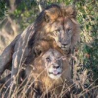 singa-yang-hubungan-seks-kaum-homoseksual-yang-disalahkan