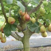 10-manfaat-buah-tin