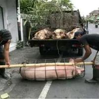 permintaan-babi-meningkat-pasar-terbesar-justru-surabaya-dan-jakarta