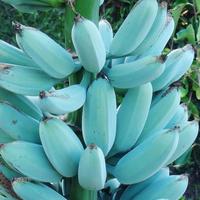 blue-java-banana-pisang-biru-selembut-es-krim-vanila