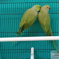 parrot-indian-ringneck-sepasang