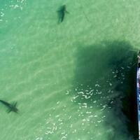 ikan-hiu-mendadak-ramai-ramai-datang-ke-pantai-israel-mengapa