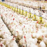 10-juta-telur-siap-tetas-akan-dimusnahkan-demi-dongkrak-harga-ayam