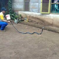 digigit-ular-kobra-saat-berkebun-2-warga-gowa-tewas-di-tempat