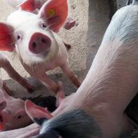fakta-mengejutkan-tentang-babi