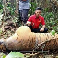 terjerat-kawat-seekor-harimau-sumatera-ditemukan-mati
