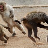 ratusan-monyet-di-thailand--tawuran--kena-dampak-corona