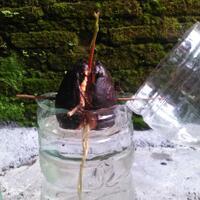 mumpungdirumah-menanam-bawang-putih-ternyata-mudah-gan-sis