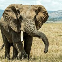 gading-gajah-simbol-maskimpoi-atau-harga-diri