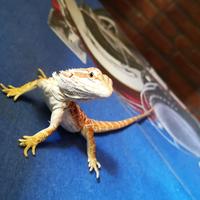 7-fakta-menarik-bearded-dragon-hewan-eksotis-yang-bisa-ganti-kelamin