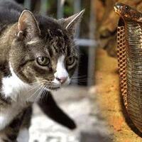 kenapa-ular-takut-sama-kucing-ini-kata-panji-petualang