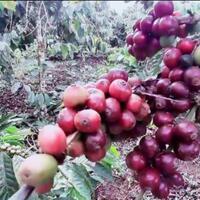 coc-reg-jambi-jambi-s-exotic-coffee-perpaduan-kopi-arabika-liberika-dan-robusta