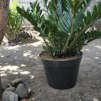 yang-suka-hijau-dan-menyegarkan-mata-tanaman-ayuk-ikutan-challenge-forum-tanaman
