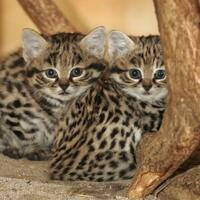 the-black-footed-cat-kucing-paling-mematikan-di-dunia