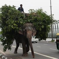 pemilik-gajah-piara-terakhir-nyerah-di-delhi-india