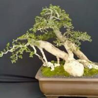 berbagi-cara-simple-menanam-tanaman-bonsai-nih