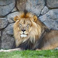 7-idiom-bahasa-inggris-ini-pakai-kata--lion--tahu-arti--lion-heart