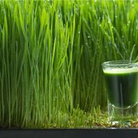 manfaat-wheatgrass-yang-jarang-jarang-ditemui