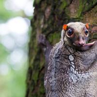 5-fakta-menarik-kubung-mamalia-melayang-yang-luput-dari-perhatian
