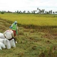 wacana-impor-beras-bikin-harga-gabah-anjlok-petani-kudus-terancam-merugi