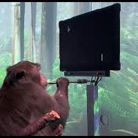 ajib-dipasang-chip-otak-oleh-elon-musk-monyet-ini-bisa-main-game-otw-mabar-nih