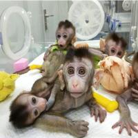 ilmuwan-amerika-ciptakan-makhluk-campuran-manusia-monyet-ini-tujuannya