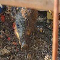 mui-jelaskan-adab-mengubur-makhluk-diduga-babi-ngepet