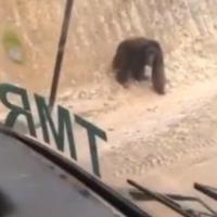 viral-video-orangutan-bingung-cari-habitatnya