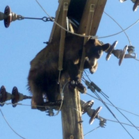 duh-beruang-nyangkut-di-tiang-listrik-picu-pemadaman-di-as