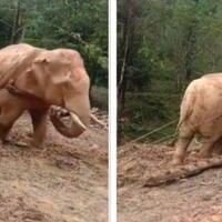 kejam-seekor-gajah-dieksploitasi-untuk-membawa-batang-pohon-di-hutan